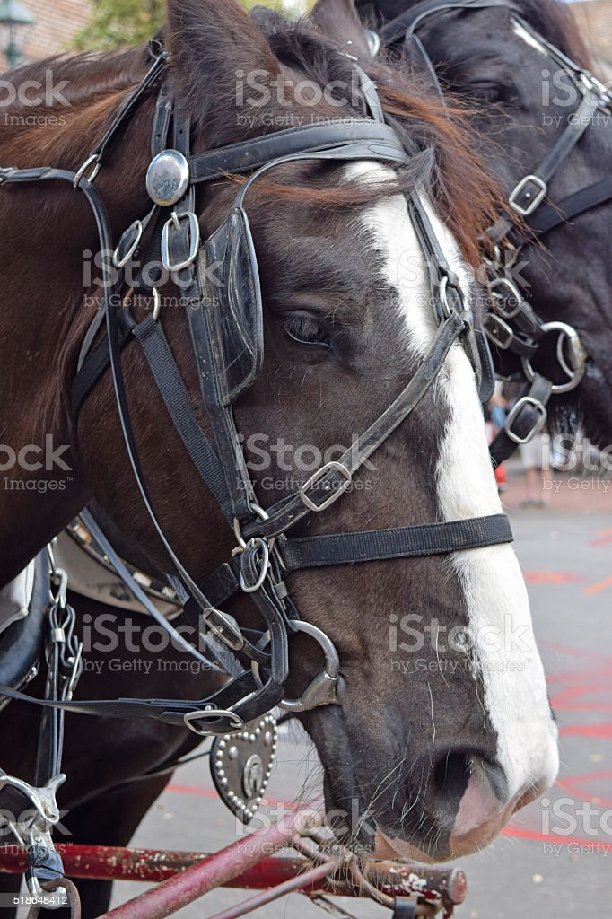 Draft Horse in Bridle stock photo