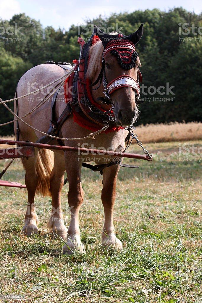 Draft horse stock photo