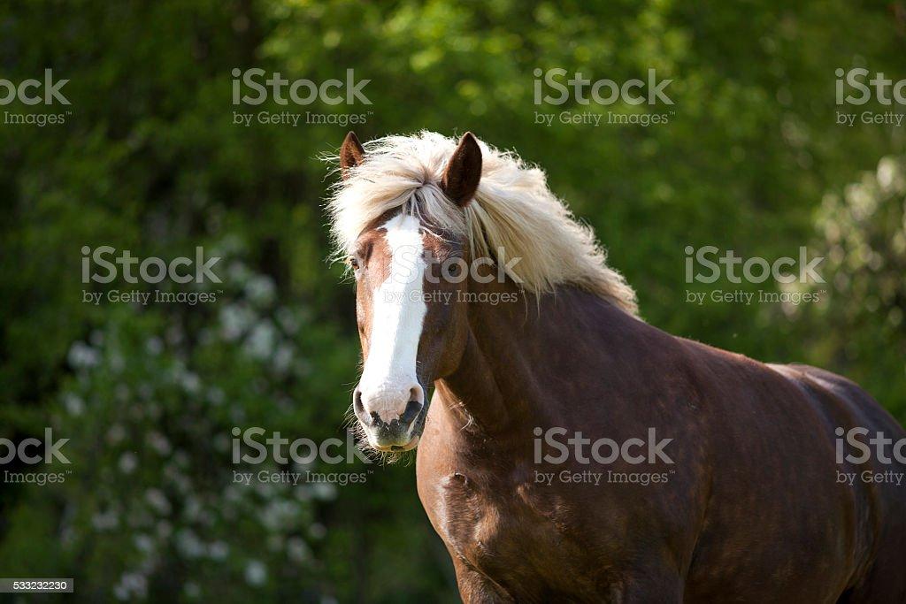 Draft Horse portrait stock photo