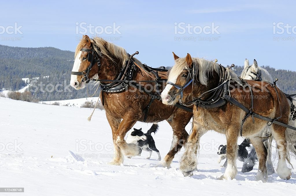 Draft Horse team and dogs royalty-free stock photo