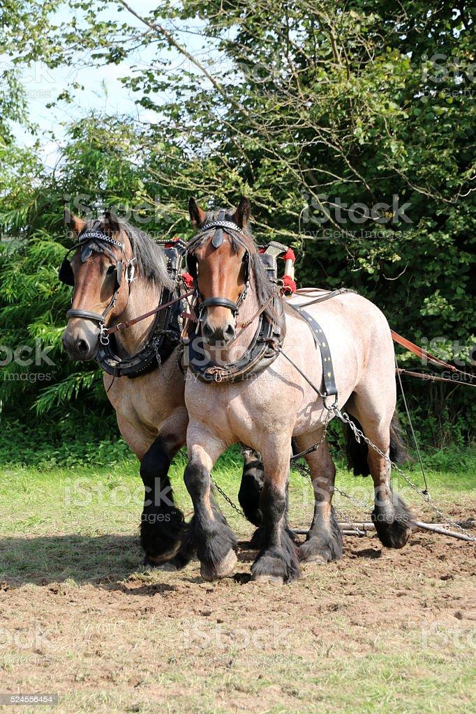Draft Horse-Harnessing stock photo