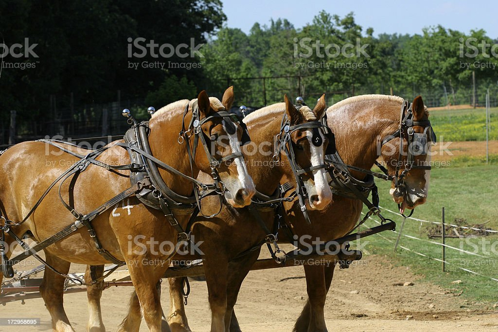 Draft horses royalty-free stock photo