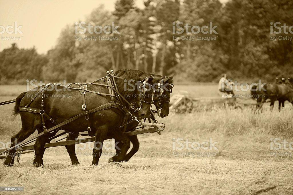 Draft Horses - Sepia stock photo
