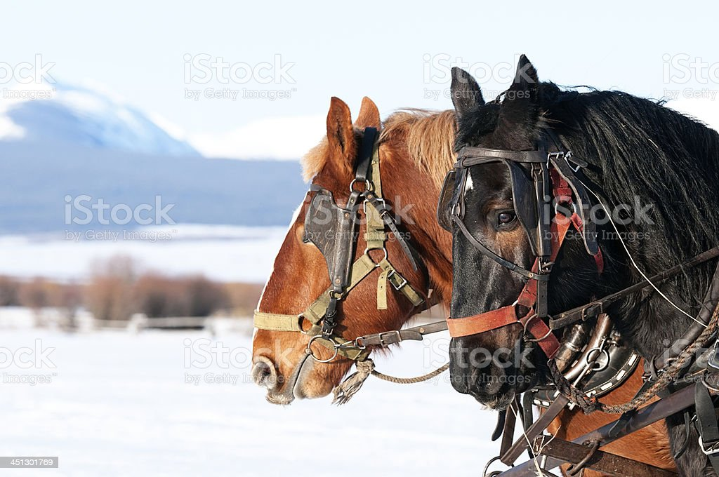 Draft Work Horses in Winter stock photo