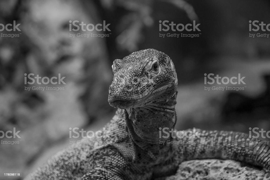 Drago di Komodo stock photo