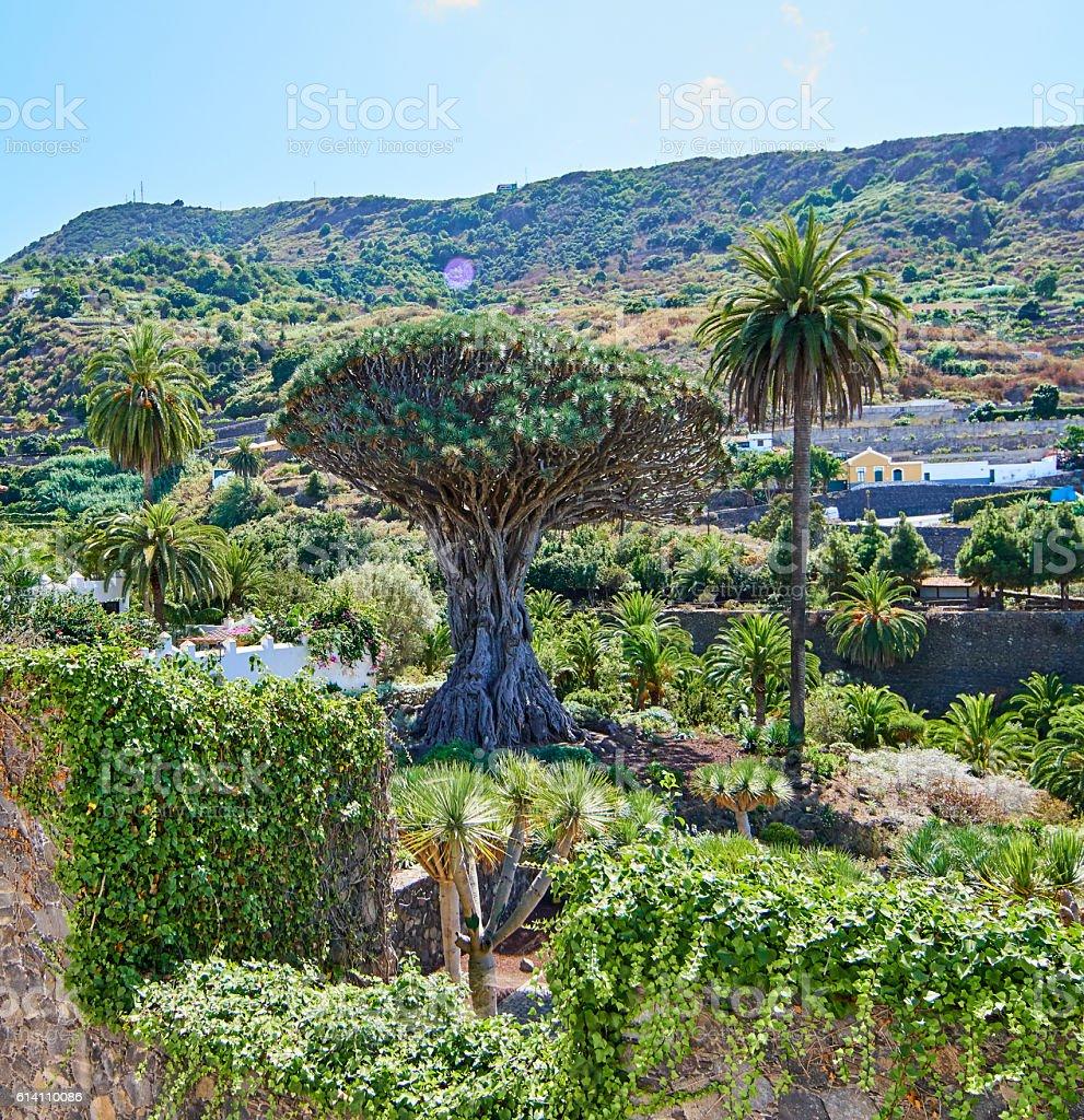 Drago Milenario - Icod de los Vinos, Tenerife stock photo