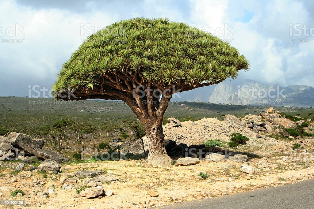 Dragon blood tree on Socotra, Yemen stock photo