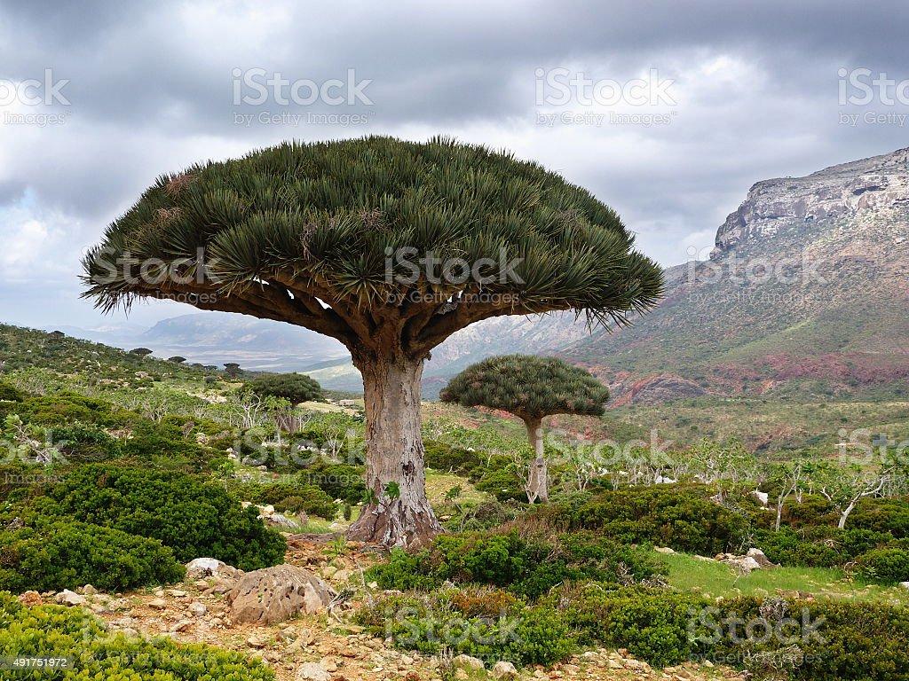 Dragon blood tree, Socotra Island stock photo