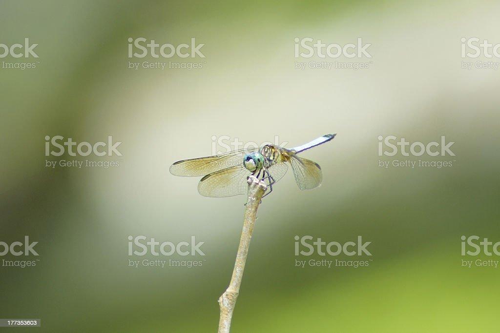Dragon Fly Close Up royalty-free stock photo