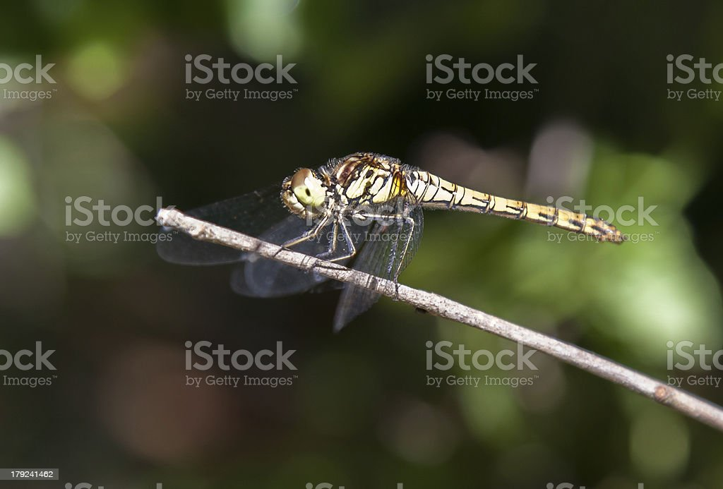 Dragon fly close up stock photo