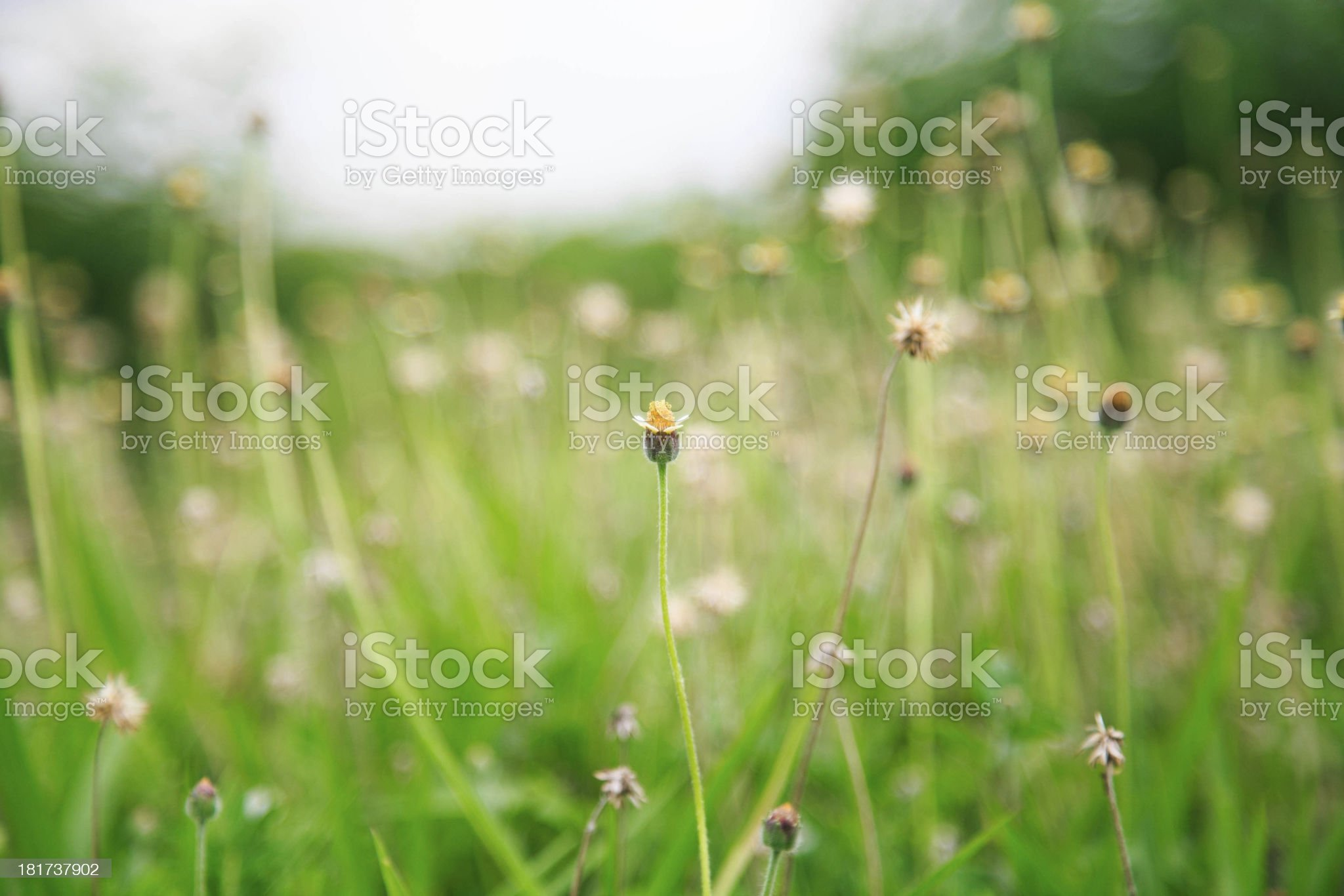 Dragon fly in rice field royalty-free stock photo