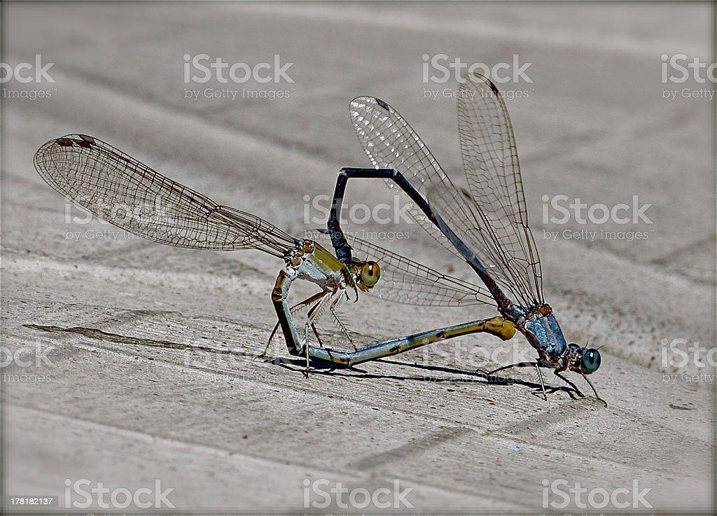 Dragon fly mating royalty-free stock photo