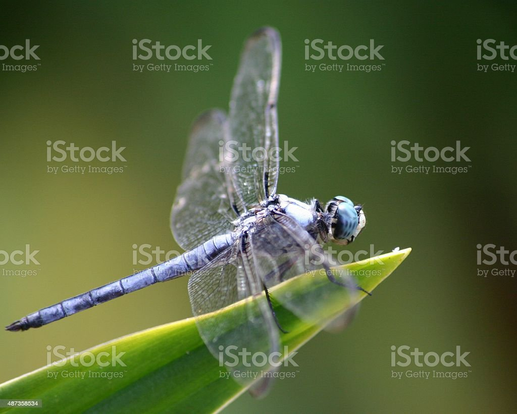 dragon fly on green leaf stock photo