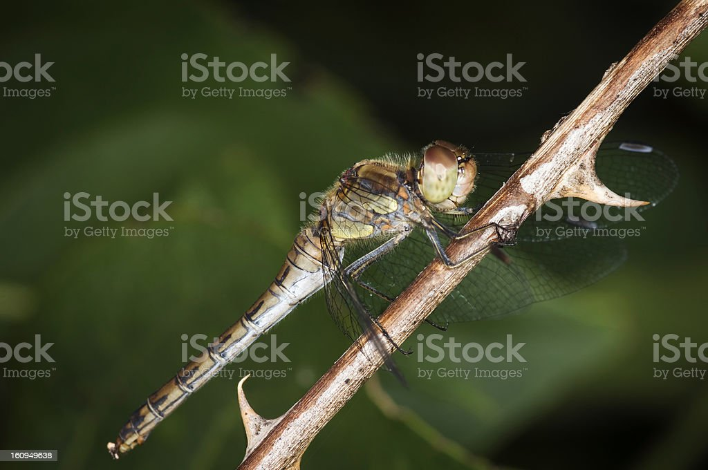 dragon fly on twig royalty-free stock photo