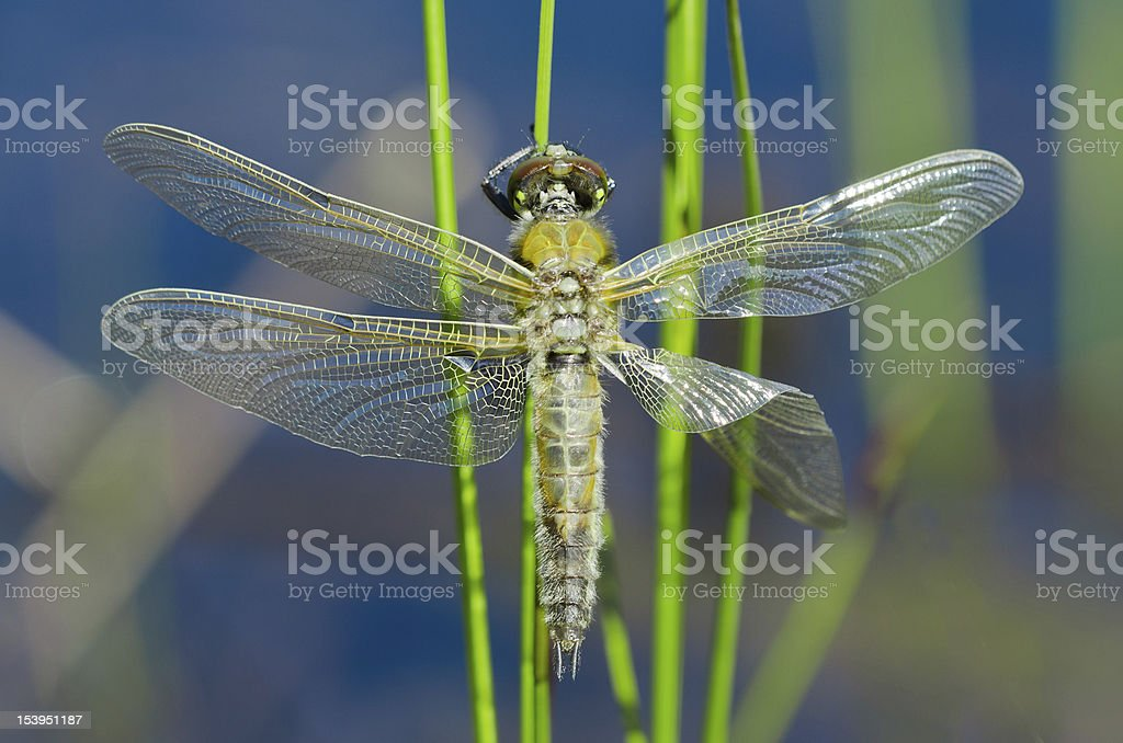 Dragon fly royalty-free stock photo