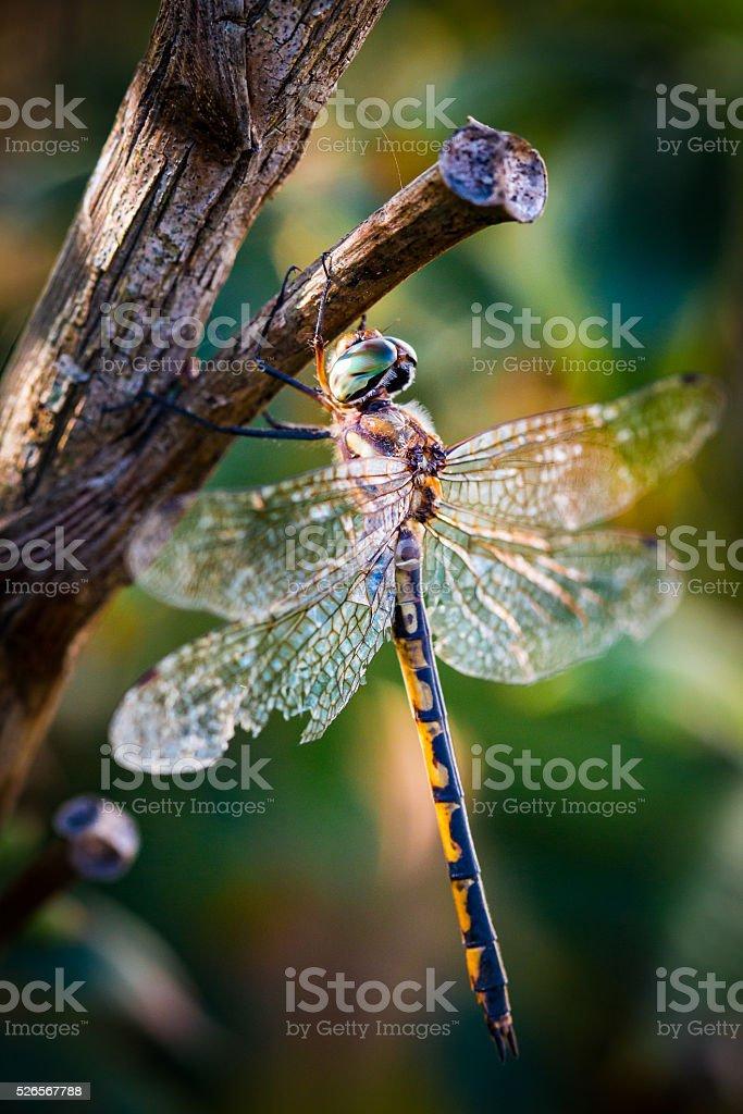 Dragon Fly stock photo