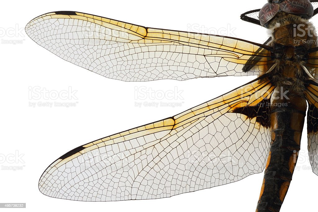 Dragon Fly Wings stock photo