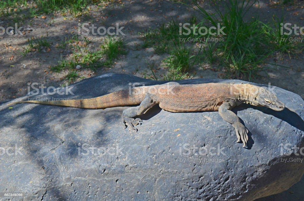 dragon komodo stock photo
