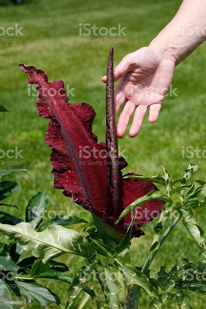 Dragon Lily royalty-free stock photo