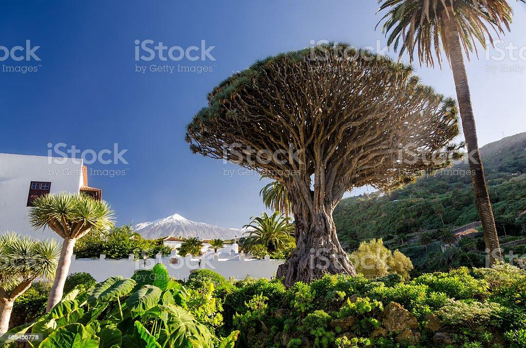 Dragon tree and Teide stock photo