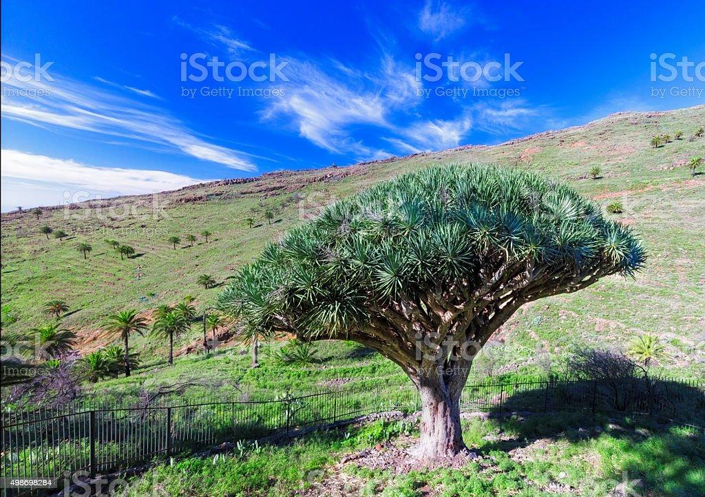 Dragon tree El Drago - XXXL Panorama,  La Gomera, Spain stock photo