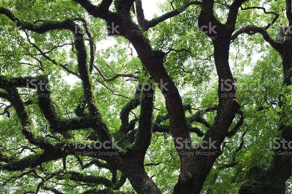 Dragon Tree HONGKONG royalty-free stock photo