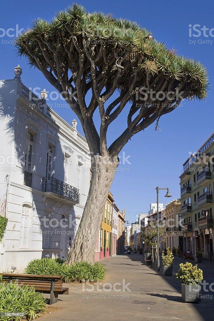 Dragon Tree in La Laguna royalty-free stock photo