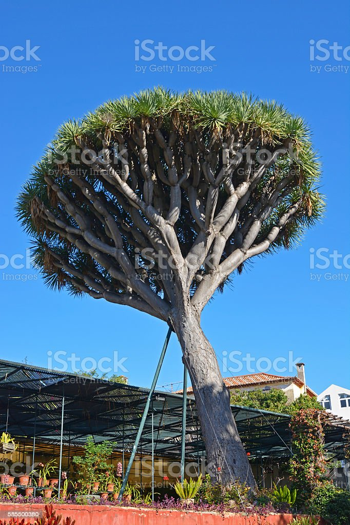 Dragon Tree in Madeira, Portugal stock photo