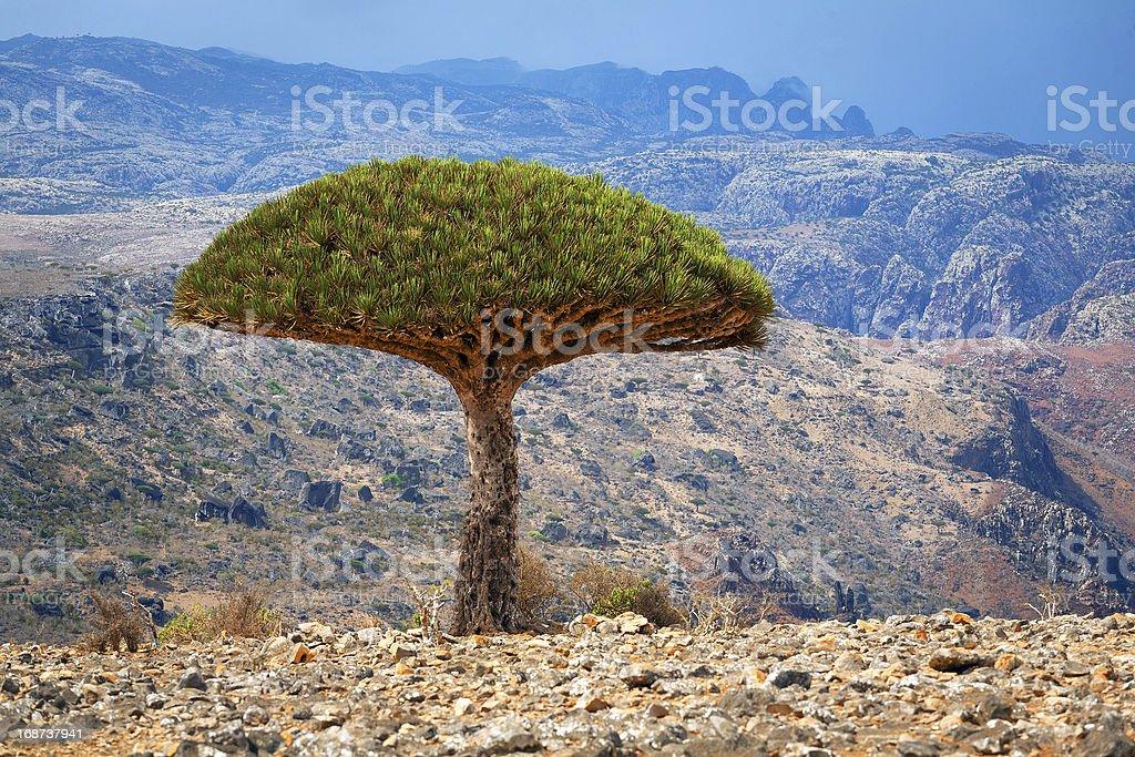 Dragon tree, island Socotra, Yemen royalty-free stock photo