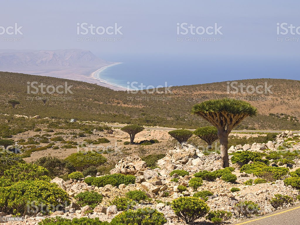 Dragon  trees and sea stock photo