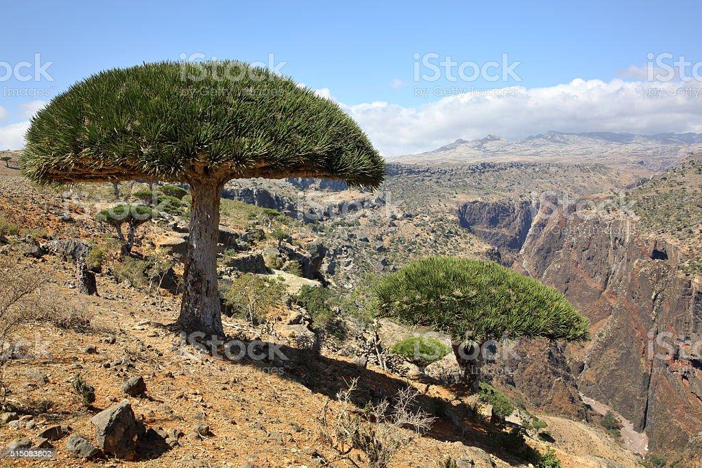 Dragon trees in Socotran highlands stock photo