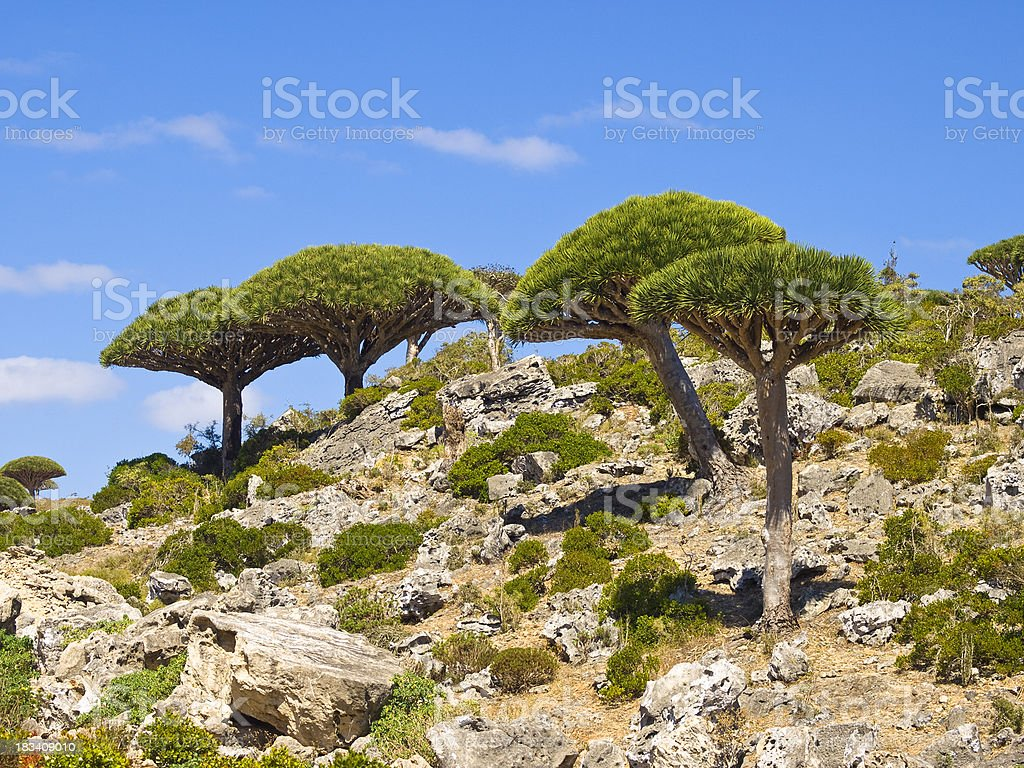 Dragon  trees stock photo