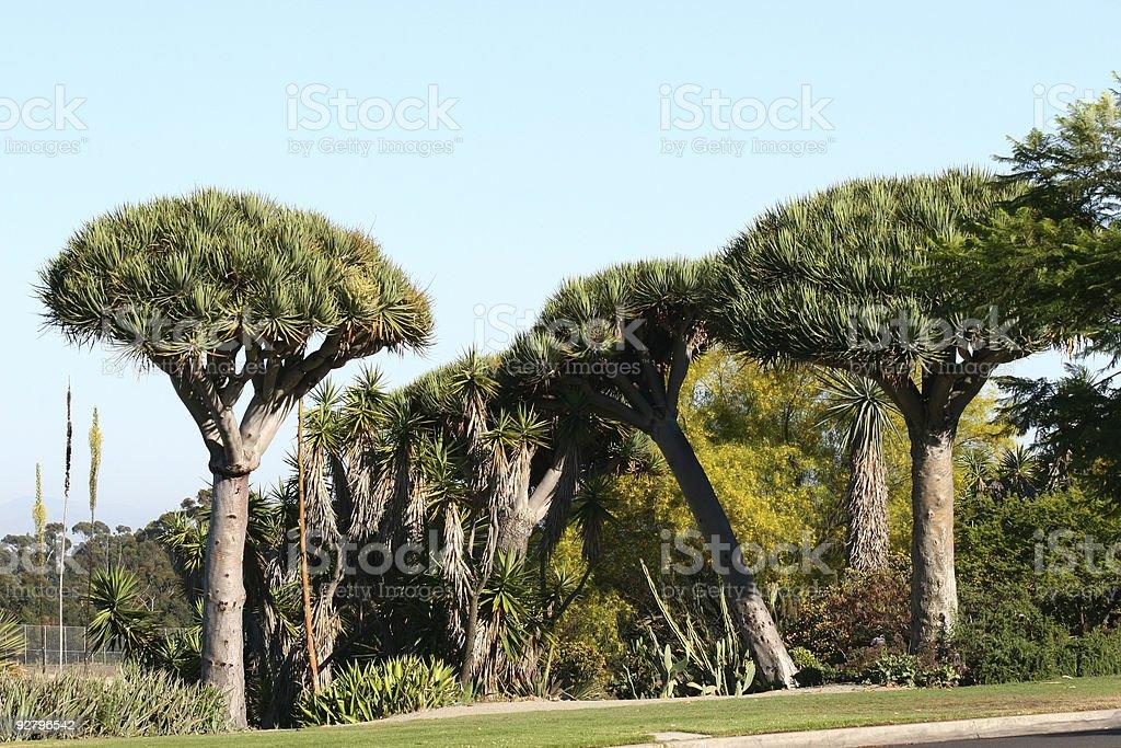 Dragon Trees royalty-free stock photo