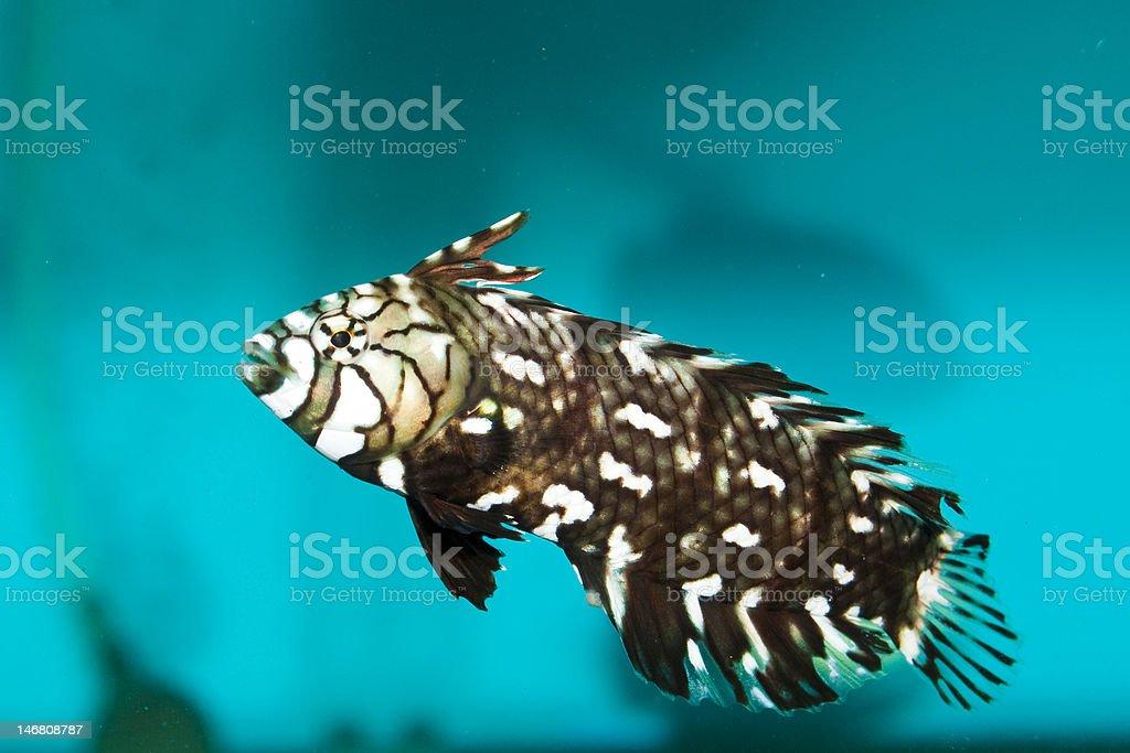 Dragonet in Aquarium stock photo