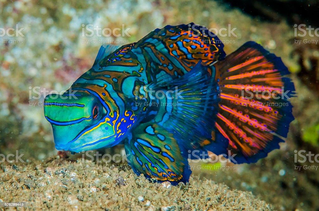 Dragonet mandarinfish in Banda, Indonesia underwater photo stock photo