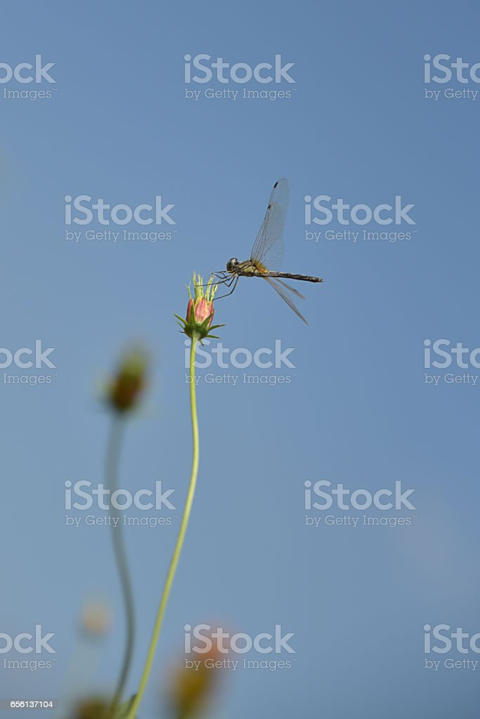 Dragonflies flying on the grass. stock photo