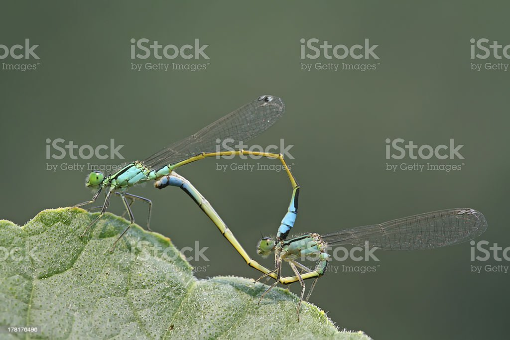 dragonflies in love royalty-free stock photo