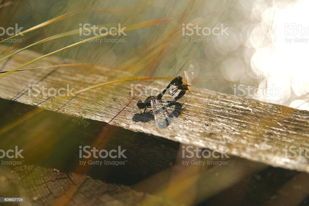 dragonflies mating in a swamp in the wild stock photo