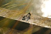 dragonflies mating in a swamp in the wild