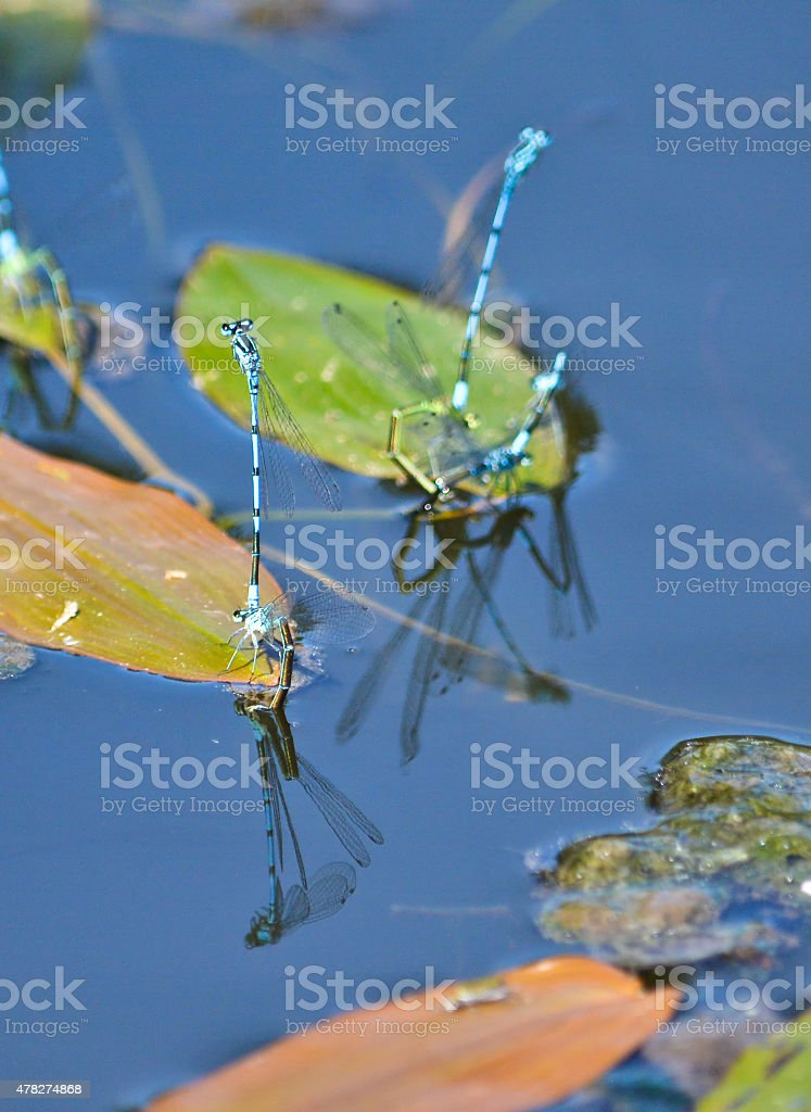 Dragonflies mating. stock photo