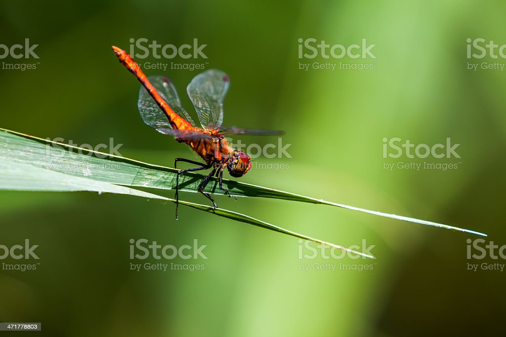dragonflies royalty-free stock photo
