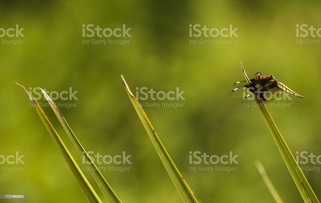 Dragonfly absorbs sunshine royalty-free stock photo