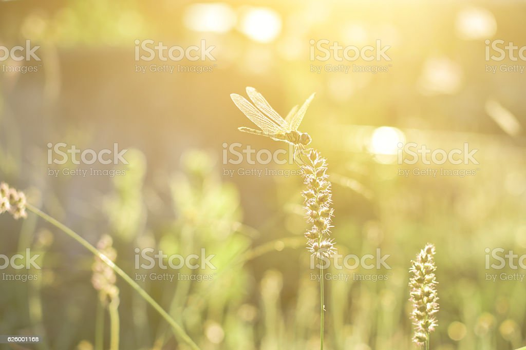 Dragonfly and flower grass with evening sun. stock photo