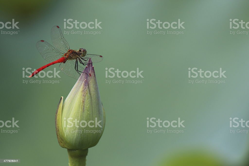 Dragonfly and lotus stock photo