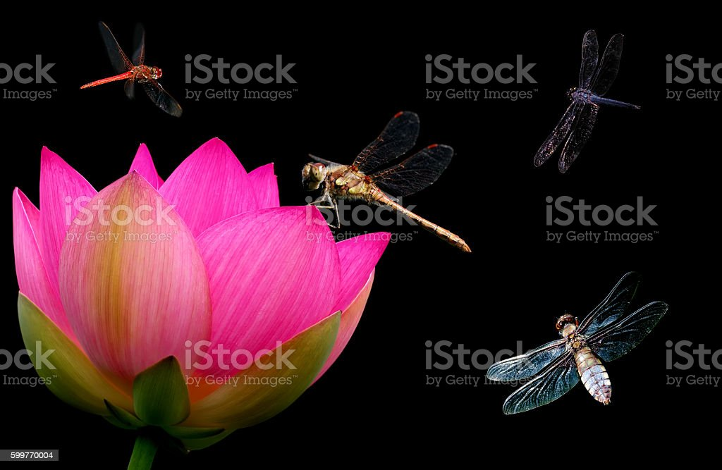 Dragonfly and water lily close-up stock photo