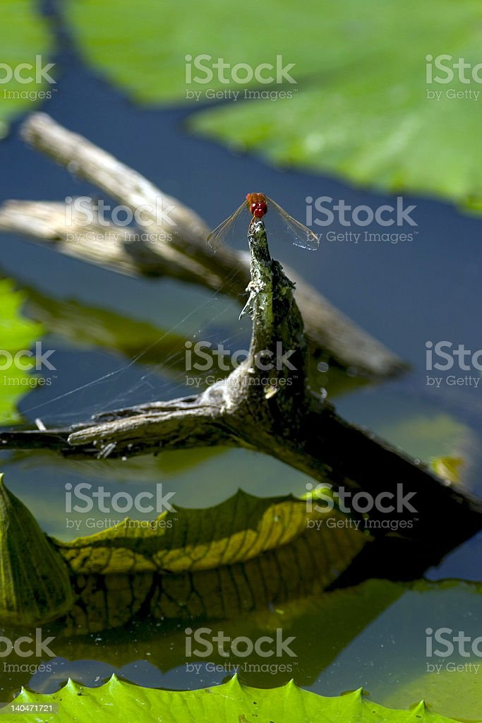 Dragonfly basking in the sun royalty-free stock photo