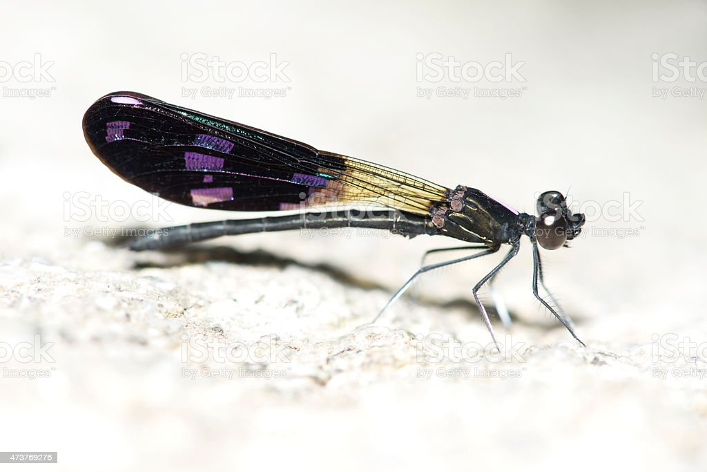 dragonfly basking on a rock stock photo