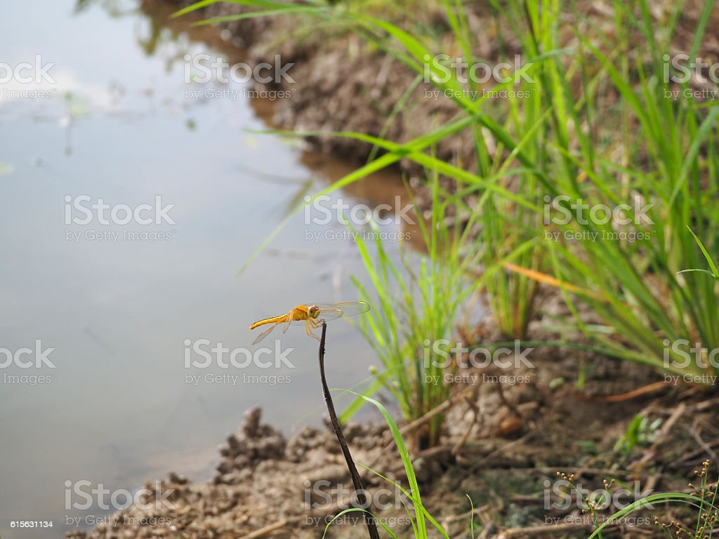 Dragonfly beside the pond of rice field stock photo