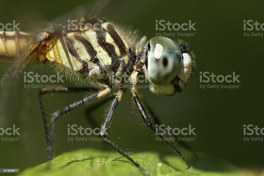 Dragonfly, Blue Dasher, Macro stock photo