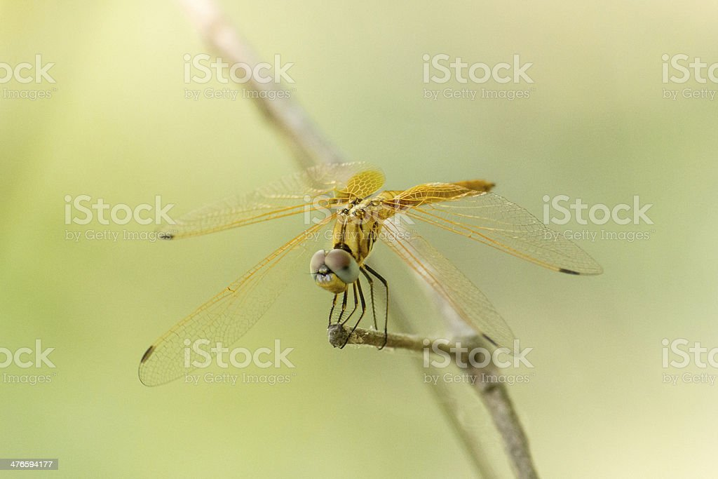 Dragonfly Calopteryx syriaca (male) on a plant royalty-free stock photo